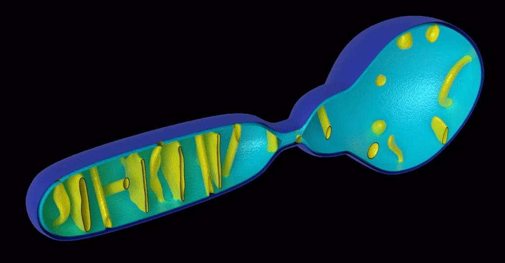 animation_interactive_universitaire_mitochondrie
